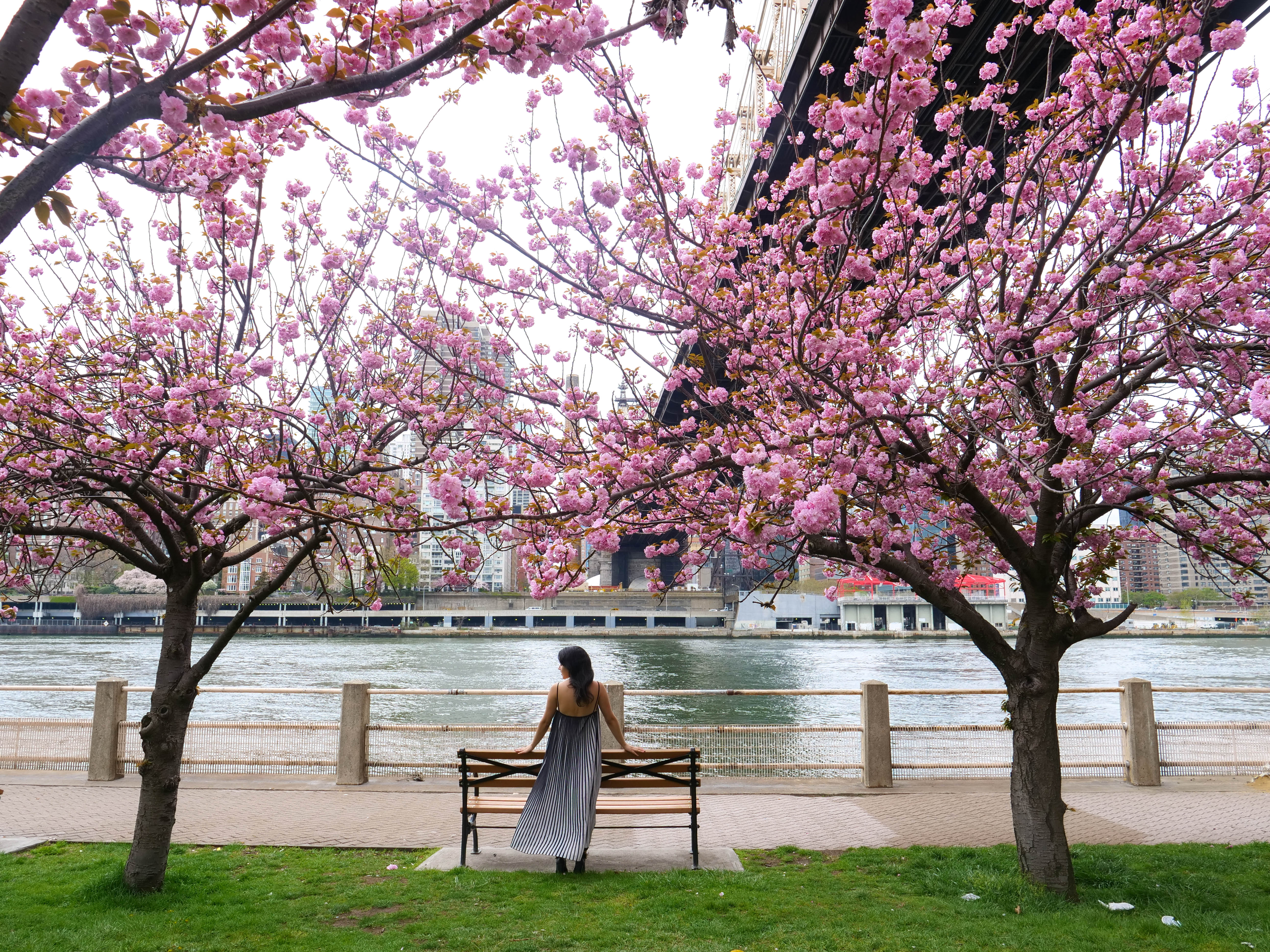 Cherry Blossoms Roosevelt Island Top Things to do in NYC